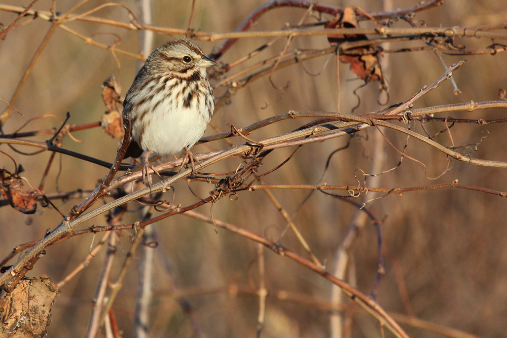 Song Sparrow / 17 Dec / Back Bay NWR