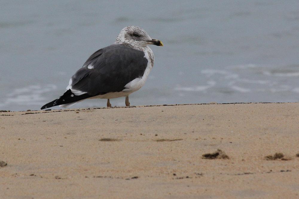 Lesser Black-backed Gull / 20 Dec / 39th Street Beach