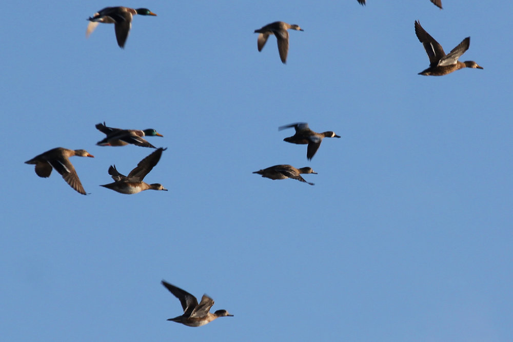 Blue-winged Teal, Mallards & American Wigeons / 31 Dec / Princess Anne WMA Whitehurst Tract