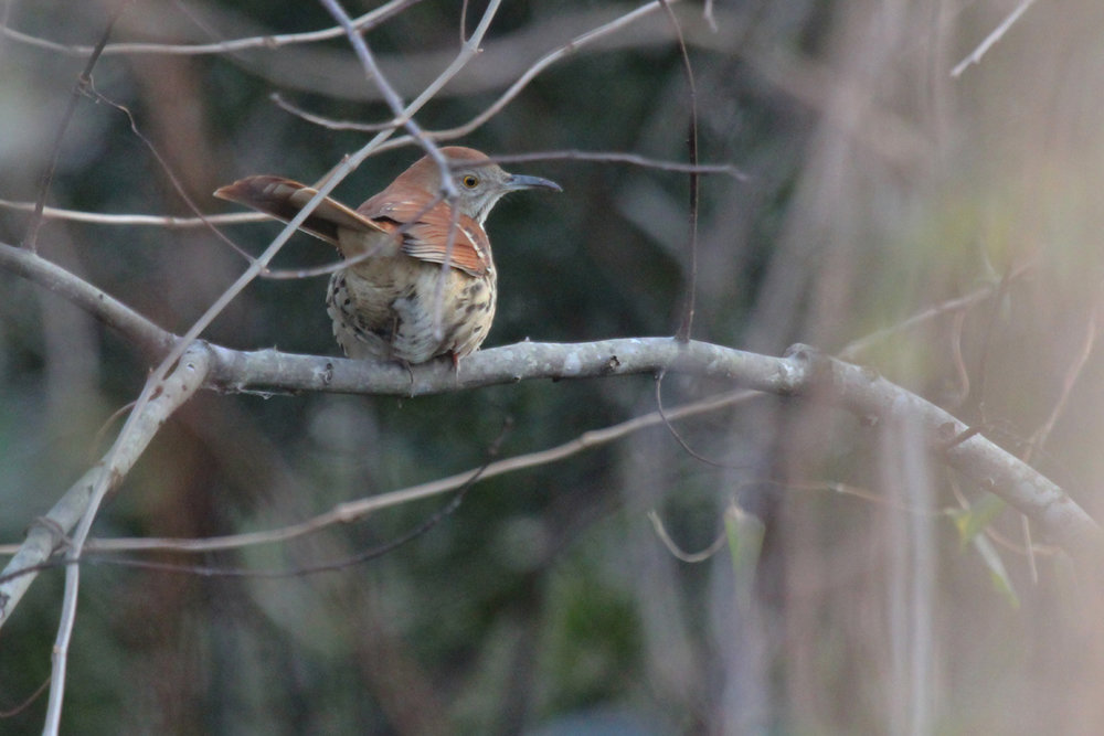 Brown Thrasher / 29 Dec / Munden Rd.