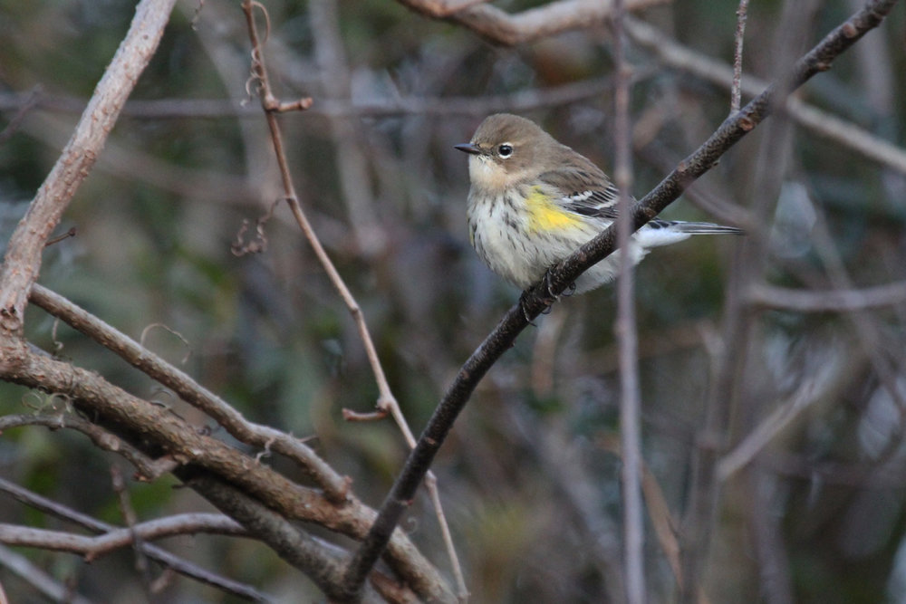 Yellow-rumped Warbler / 29 Dec / Munden Rd.