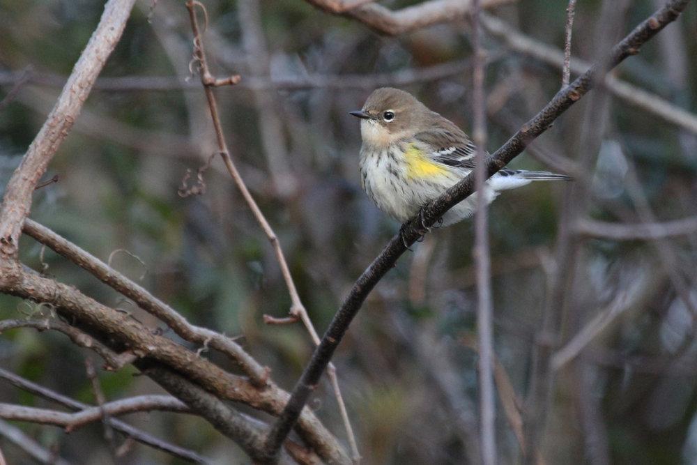 Yellow-rumped Warbler / 29 Dec / Munden Rd.