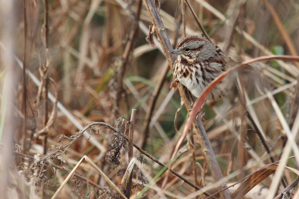 Song Sparrow / 29 Dec / Mill Landing Boat Ramp