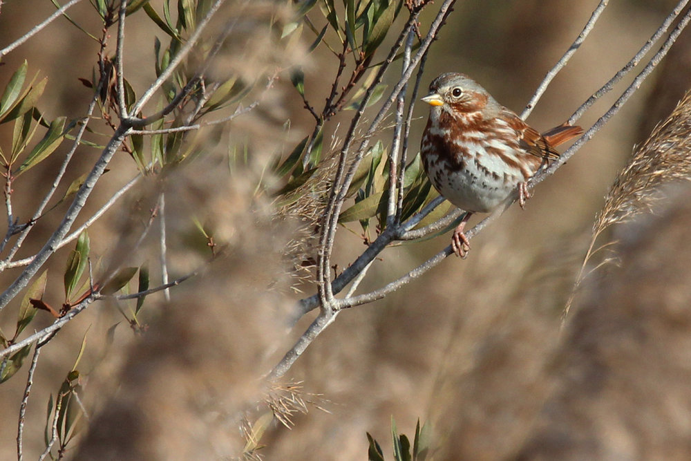 Fox Sparrow / 29 Dec / Pleasant Ridge Rd. at Muddy Creek Rd.