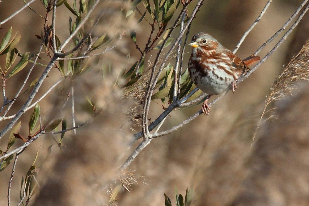 Fox Sparrow / 29 Dec / Pleasant Ridge Rd. at Muddy Creek Rd.
