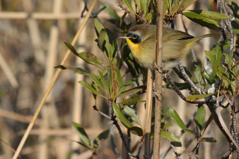 Common Yellowthroat / 29 Dec / Pleasant Ridge Rd. at Muddy Creek Rd.