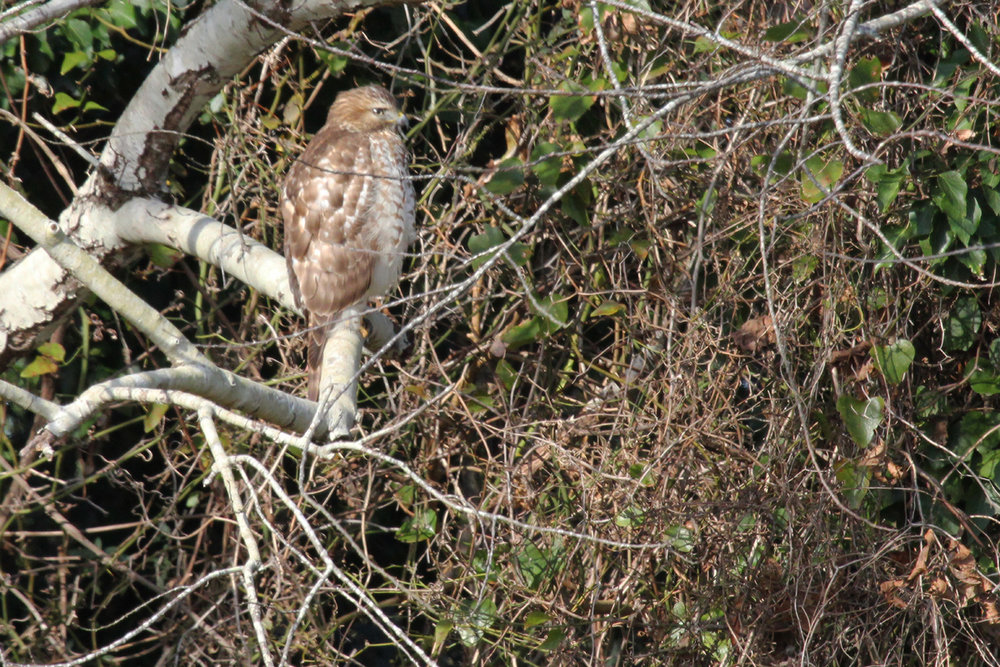 Red-shouldered Hawk / 29 Dec / Drum Point Rd.