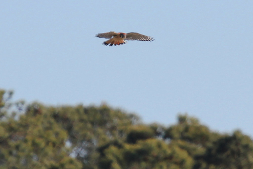 American Kestrel / 29 Dec / Vaughn Rd.