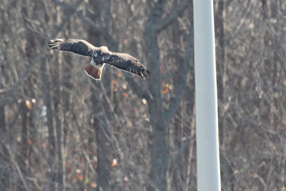 Red-tailed Hawk / 29 Dec / Williams Farm Rd.