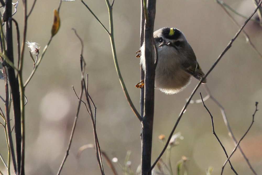 Golden-crowned Kinglet / 31 Dec / Princess Anne WMA Whitehurst Tract