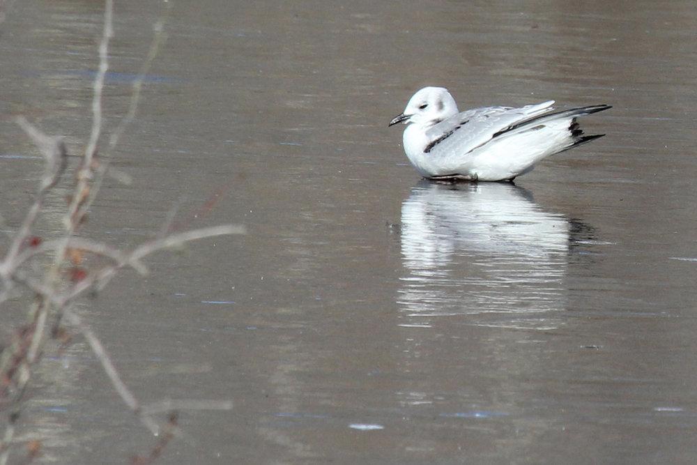 Black-legged Kittiwake / 1 Jan / Stumpy Lake NA