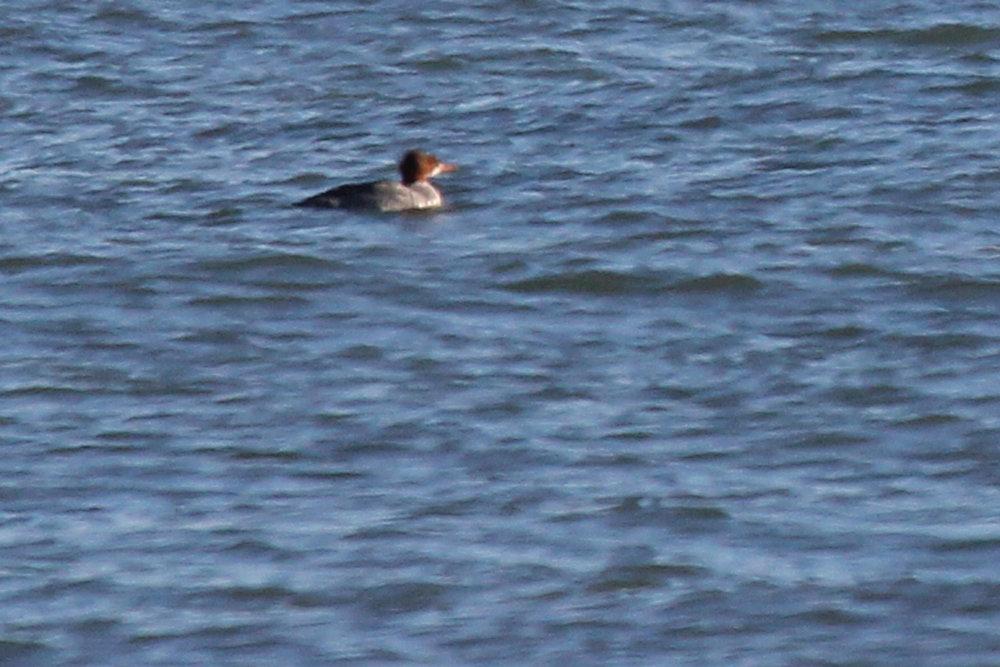 Common Merganser / 6 Jan / Little Island Park