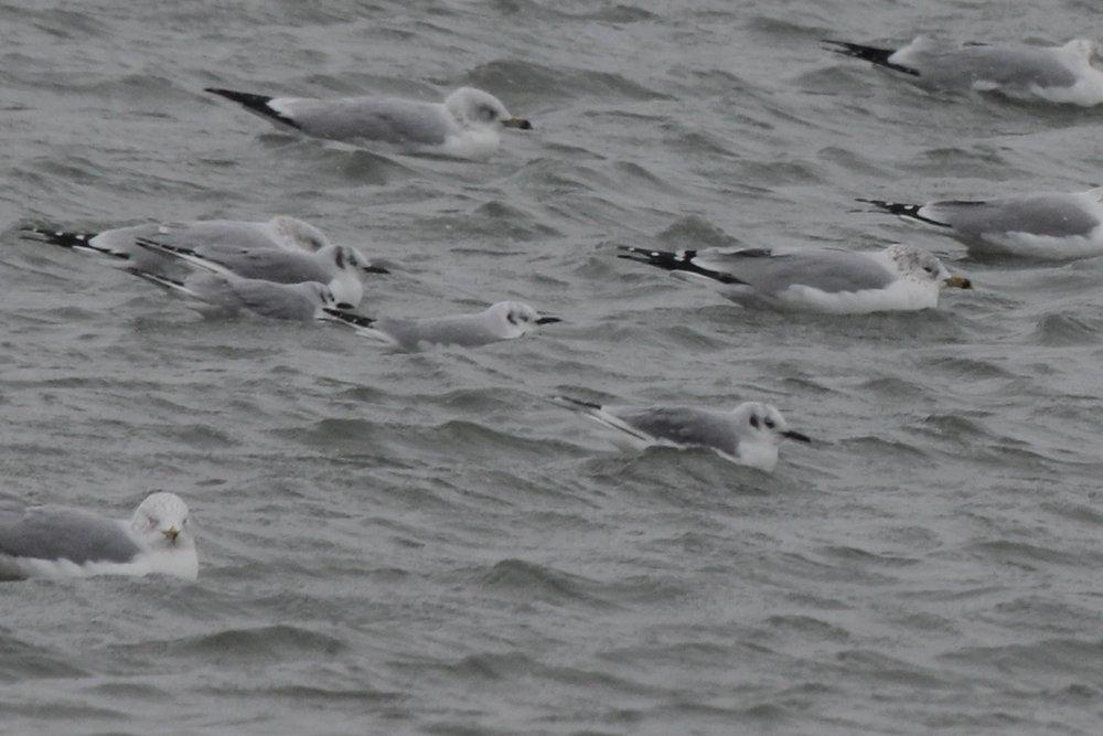 Ring-billed & Bonaparte's Gulls / 4 Jan / Rudee Inlet