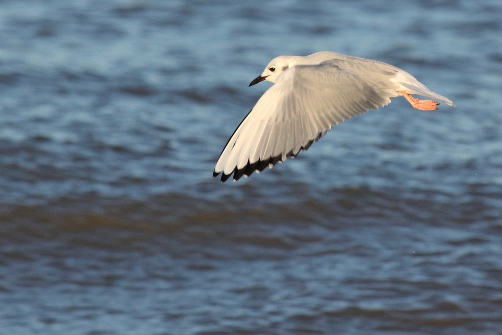 Bonaparte's Gull / 5 Jan / 57th Street Beach