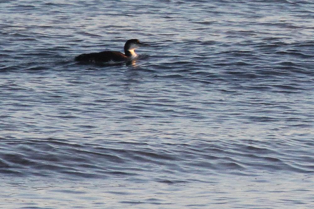 Common Loon / 6 Jan / Little Island Park