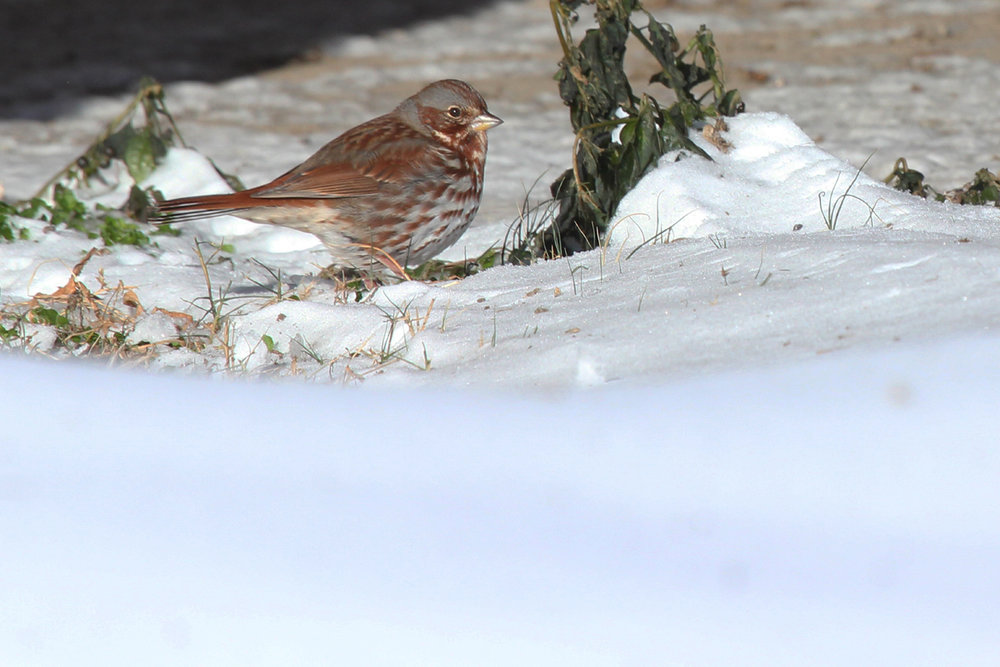 Fox Sparrow / 6 Jan / Back Bay NWR
