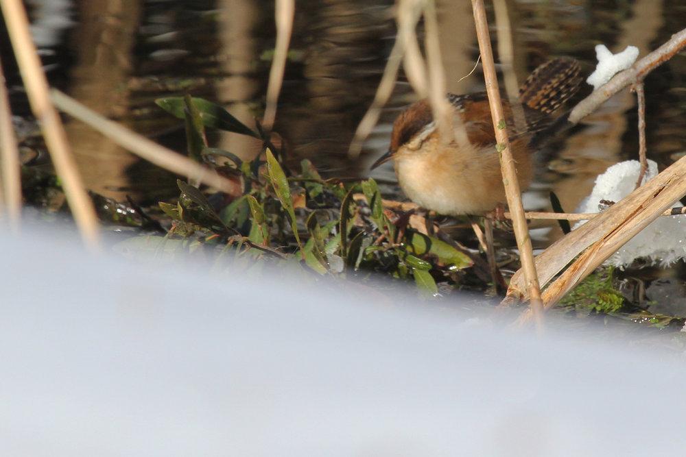 Marsh Wren / 6 Jan / Little Island Park