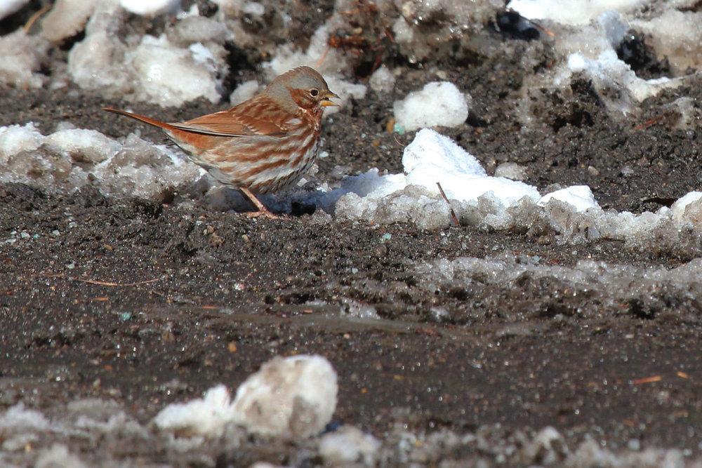 Fox Sparrow / 6 Jan / Colechester Rd.