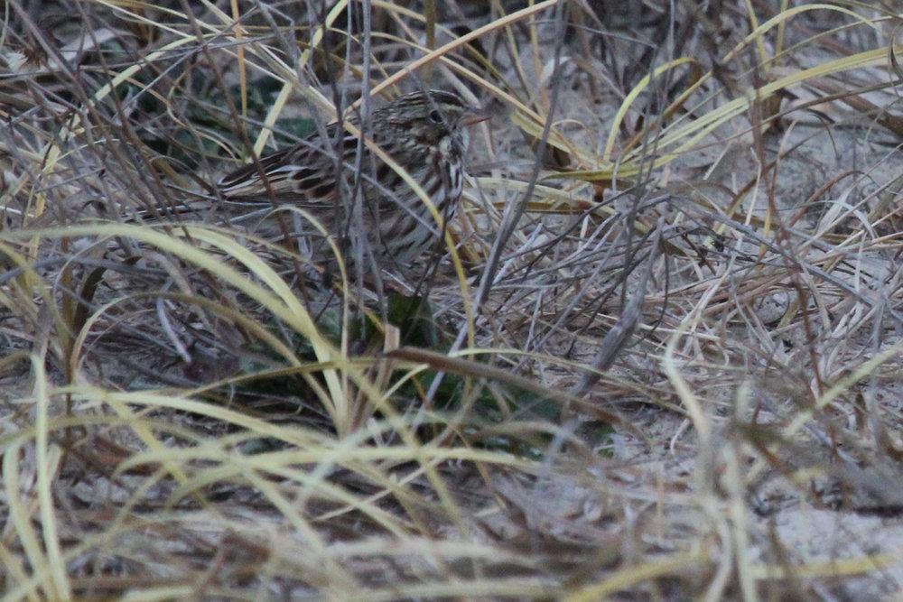 Savannah Sparrow (Savannah) / 1 Jan / Back Bay NWR