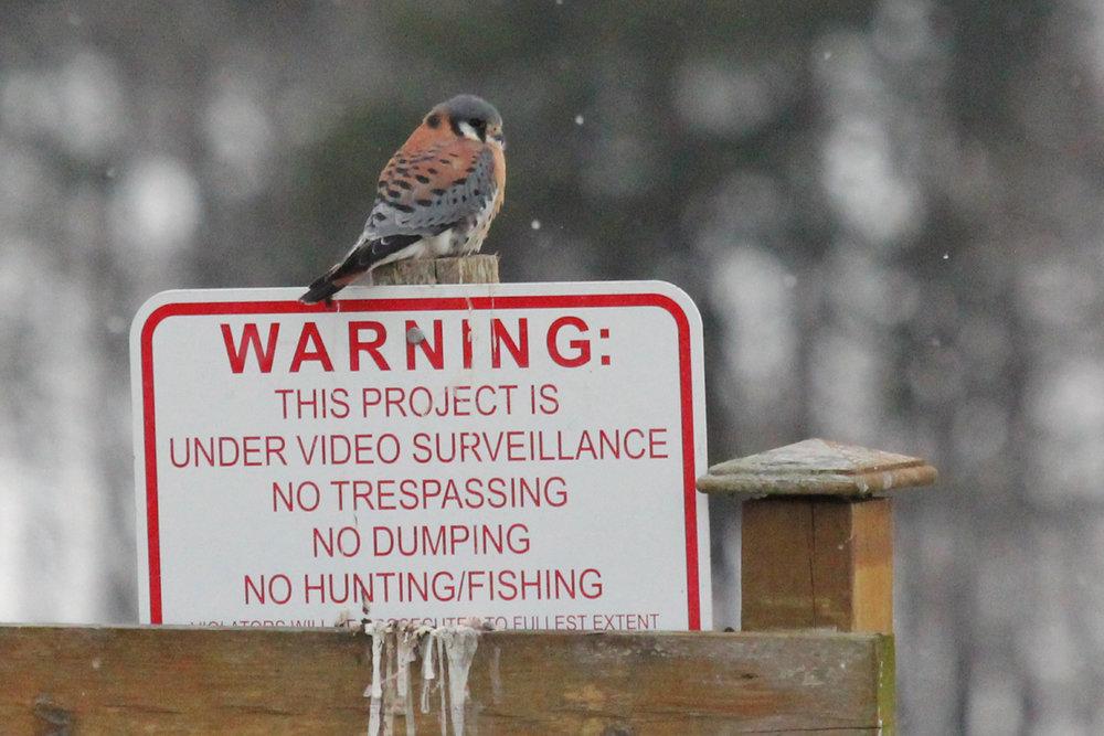 American Kestrel / 1 Jan / Ashville Park