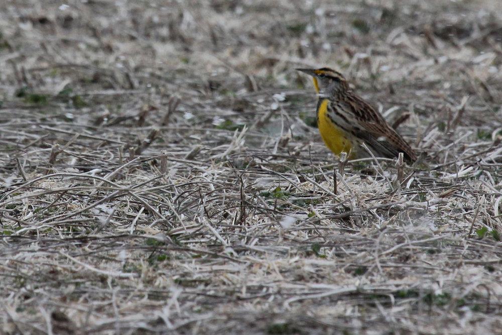 Eastern Meadowlark / 1 Jan / Princess Anne Rd.