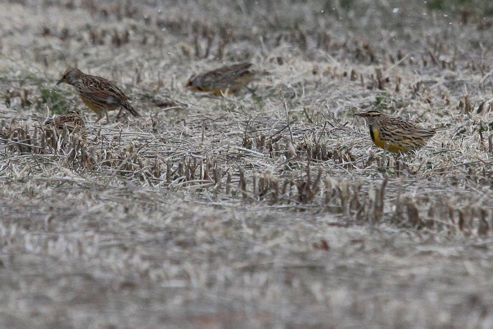 Eastern Meadowlarks / 1 Jan / Princess Anne Rd.