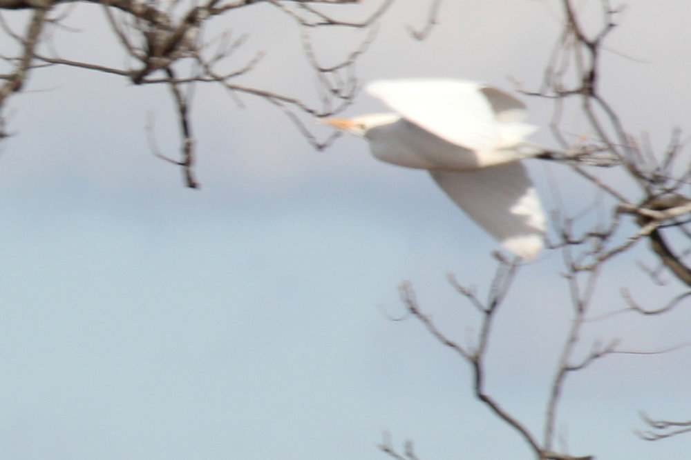 Cattle Egret / 1 Jan / Princess Anne Rd.