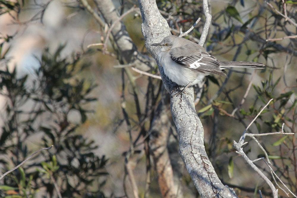 Northern Mockingbird / 6 Jan / Back Bay NWR