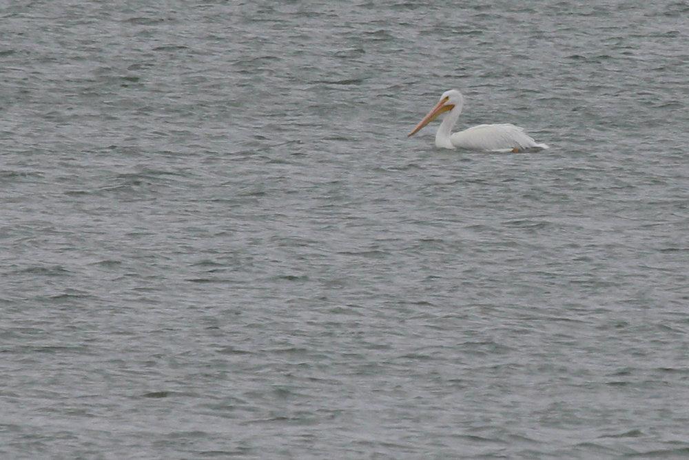 American White Pelican / 12 Jan / Sherwood Lakes