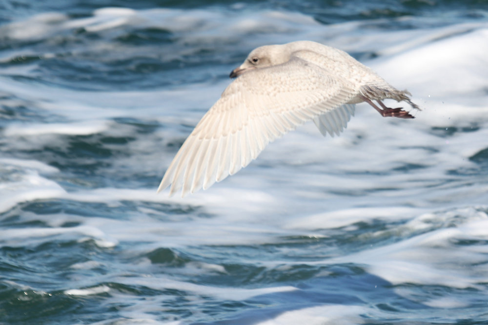 Iceland Gull / 20 Jan / Chesapeake Bay Mouth