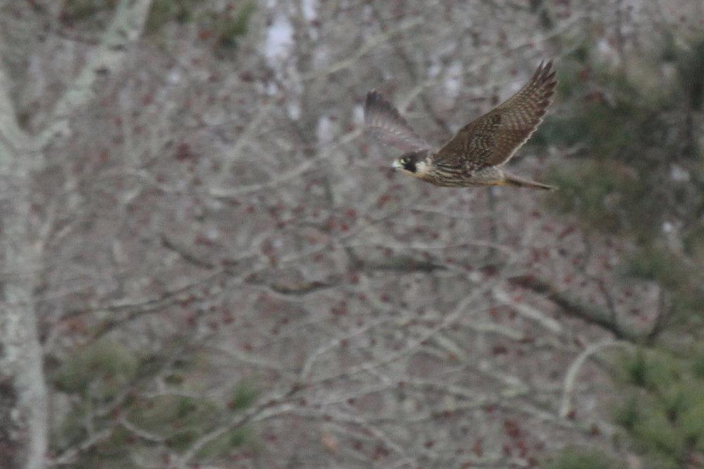 Peregrine Falcon / 12 Jan / Sherwood Lakes