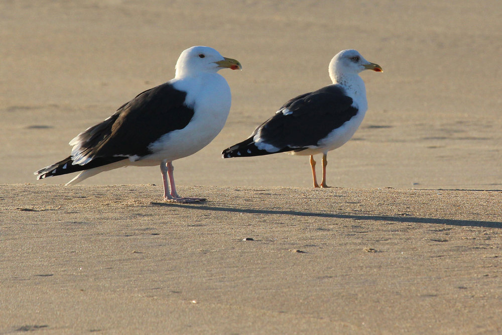 Great & Lesser Black-backed Gulls / 20 Jan / 57th Street Beach