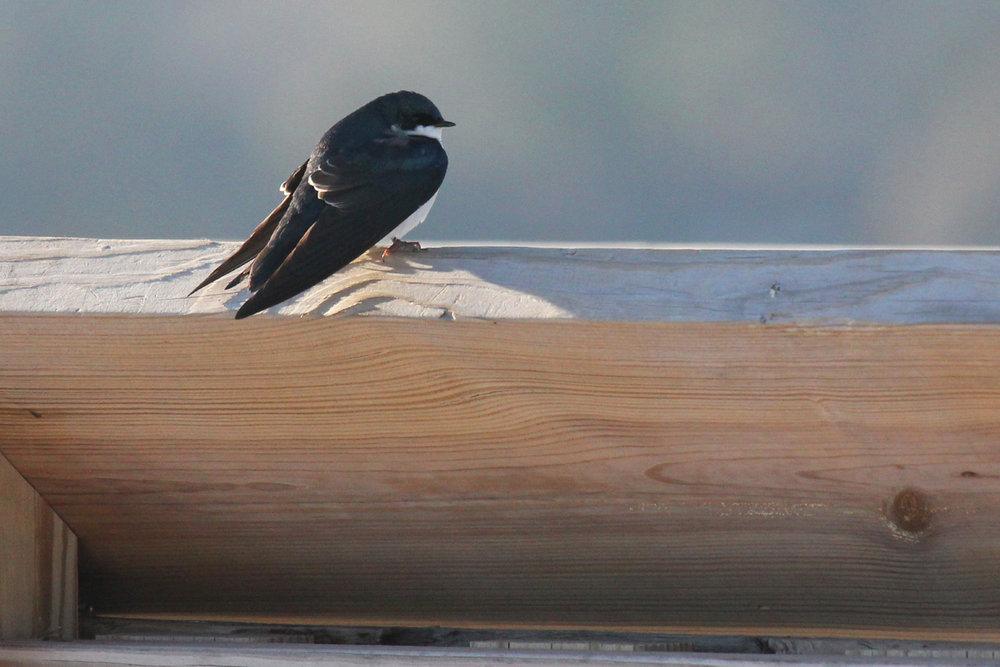 Tree Swallow / 20 Jan / Pleasure House Point NA