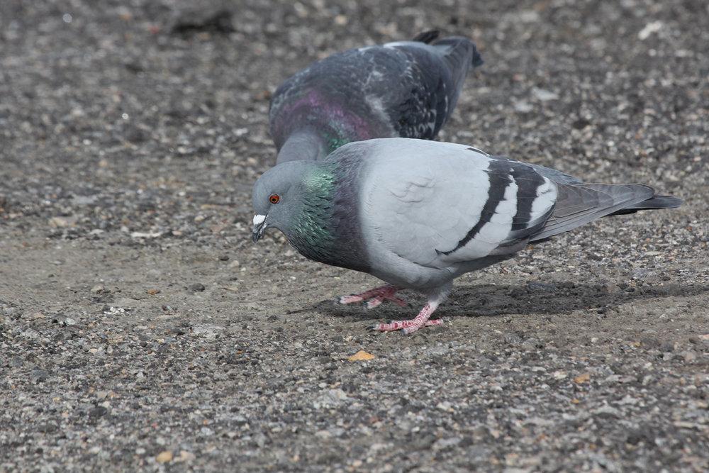 Rock Pigeons / 22 Jan / Rudee Inlet