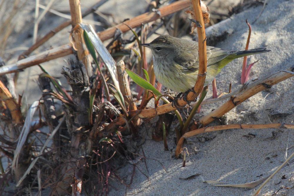 Palm Warbler (Western) / 24 Jan / Rudee Inlet