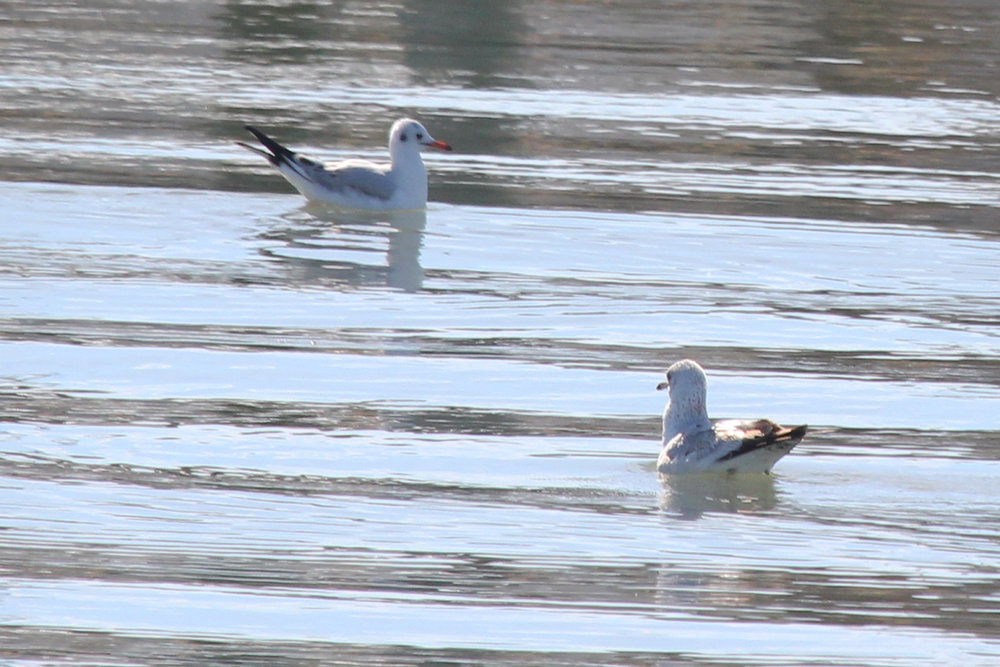 Black-headed Gull & Ring-billed Gull / 2 Feb / Rudee Inlet