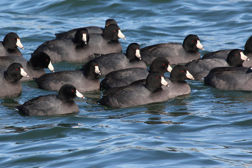 American Coots / 3 Feb / Sherwood Lakes