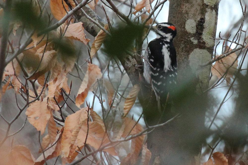 Hairy Woodpecker / 4 Feb / First Landing SP
