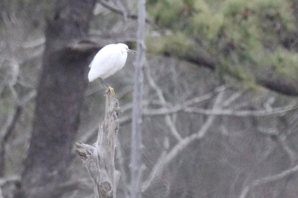 Snowy Egret / 4 Feb / First Landing SP