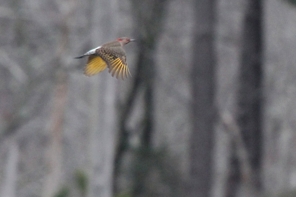 Northern Flicker / 4 Feb / First Landing SP