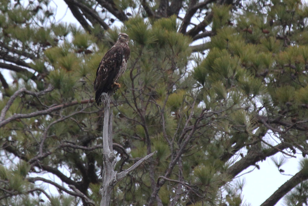 Bald Eagle / 4 Feb / First Landing SP