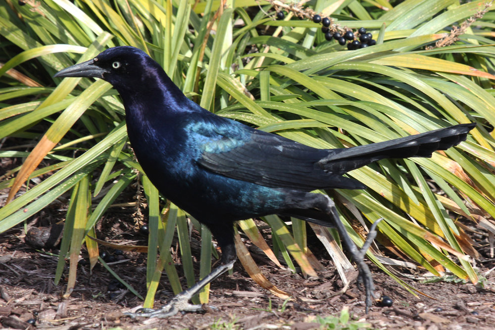 Boat-tailed Grackle / 1 Feb / Rudee Inlet