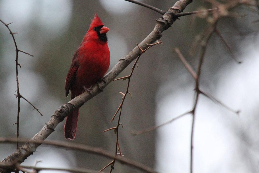 Northern Cardinal / 4 Feb / First Landing SP