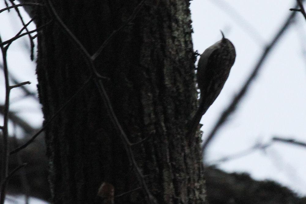 Brown Creeper / 4 Feb / First Landing SP