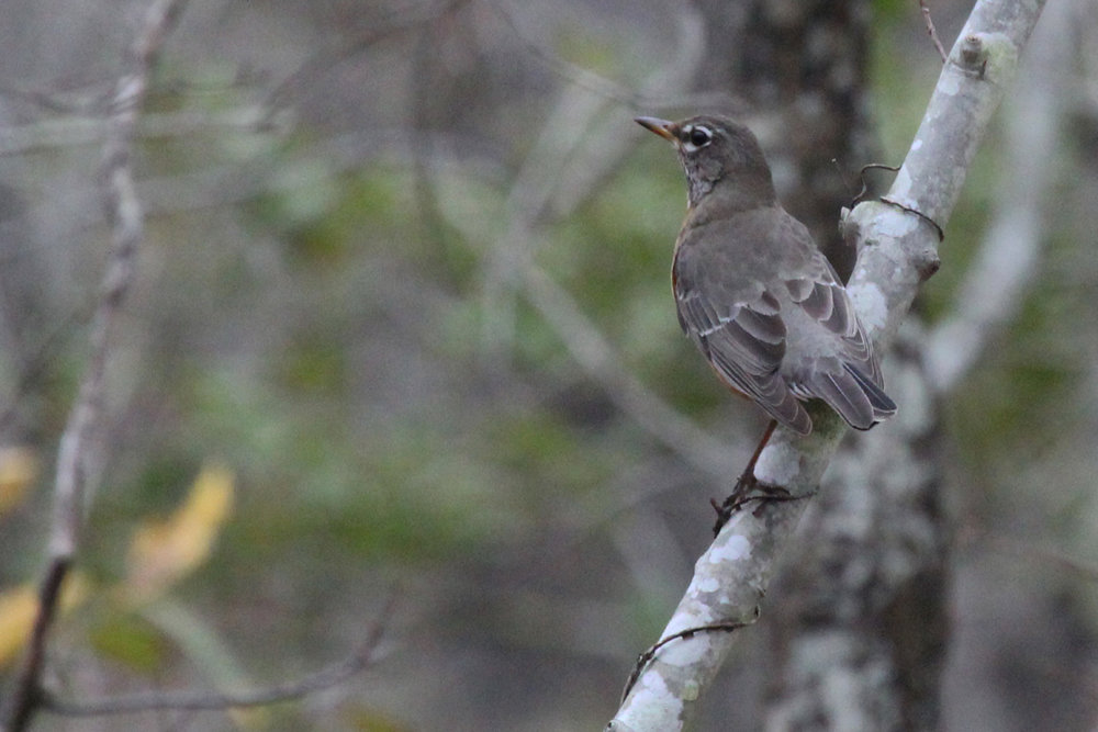 American Robin / 4 Feb / First Landing SP