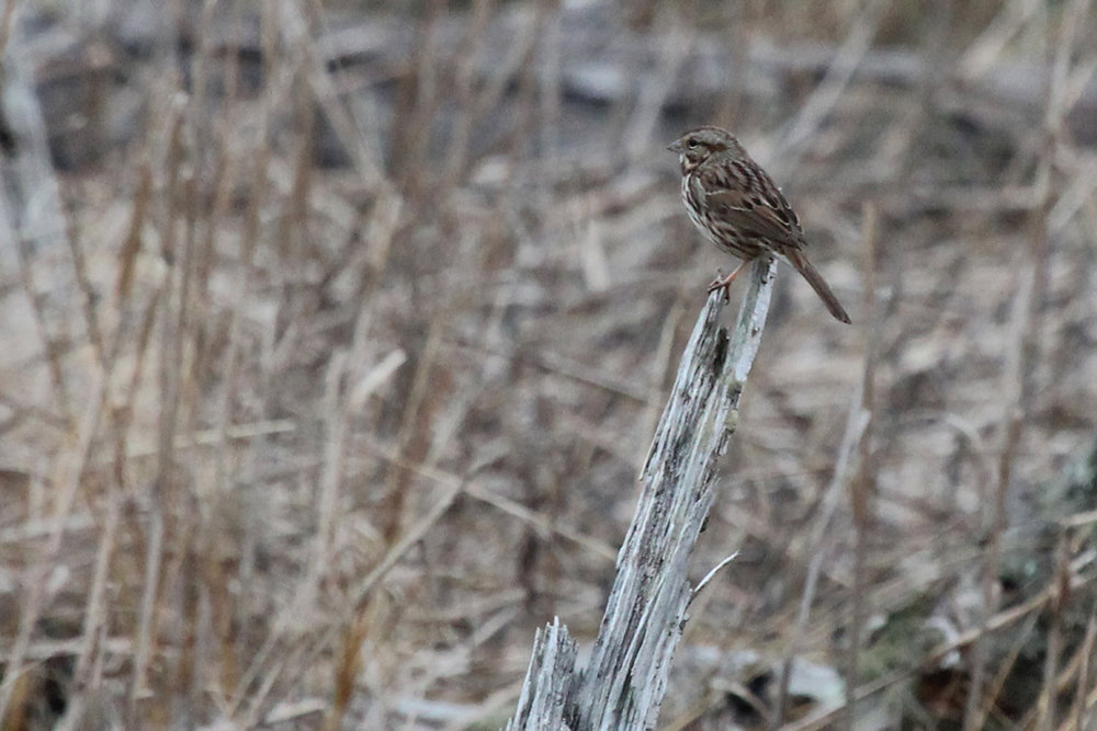 Song Sparrow / 4 Feb / First Landing SP