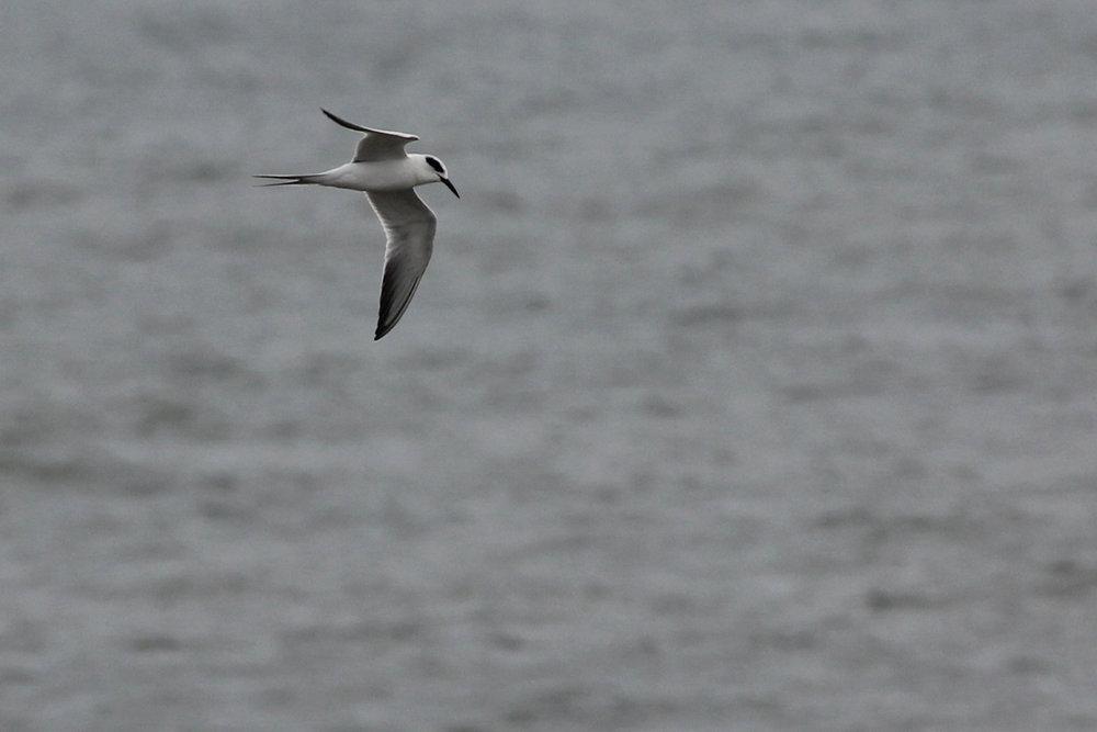 Forster's Tern / 11 Feb / Little Island Park