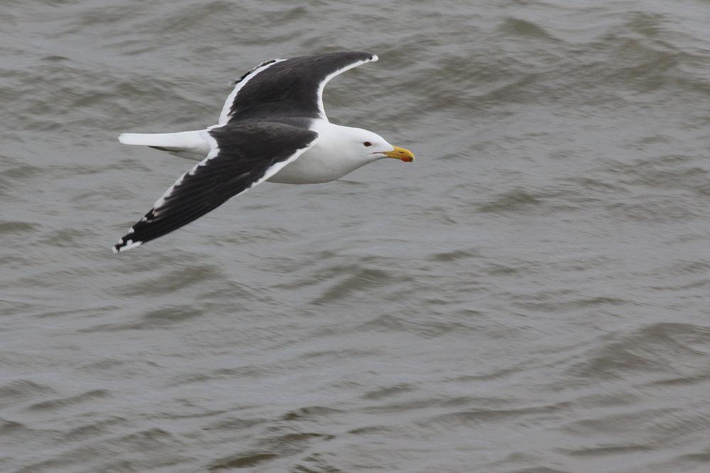 Great Black-backed Gull / 11 Feb / Little Island Park