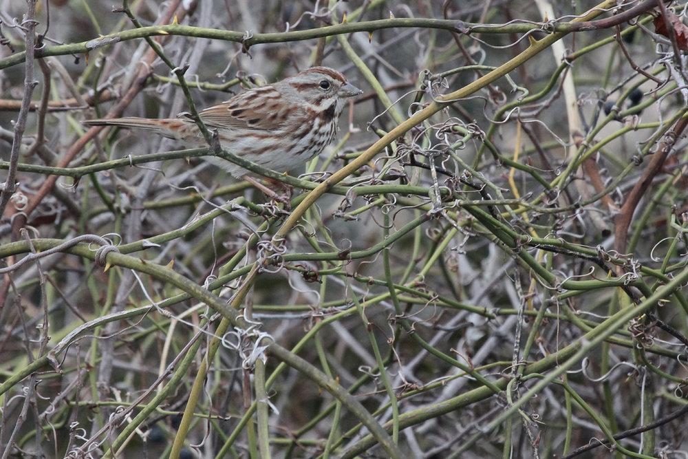 Song Sparrow / 11 Feb / Back Bay NWR