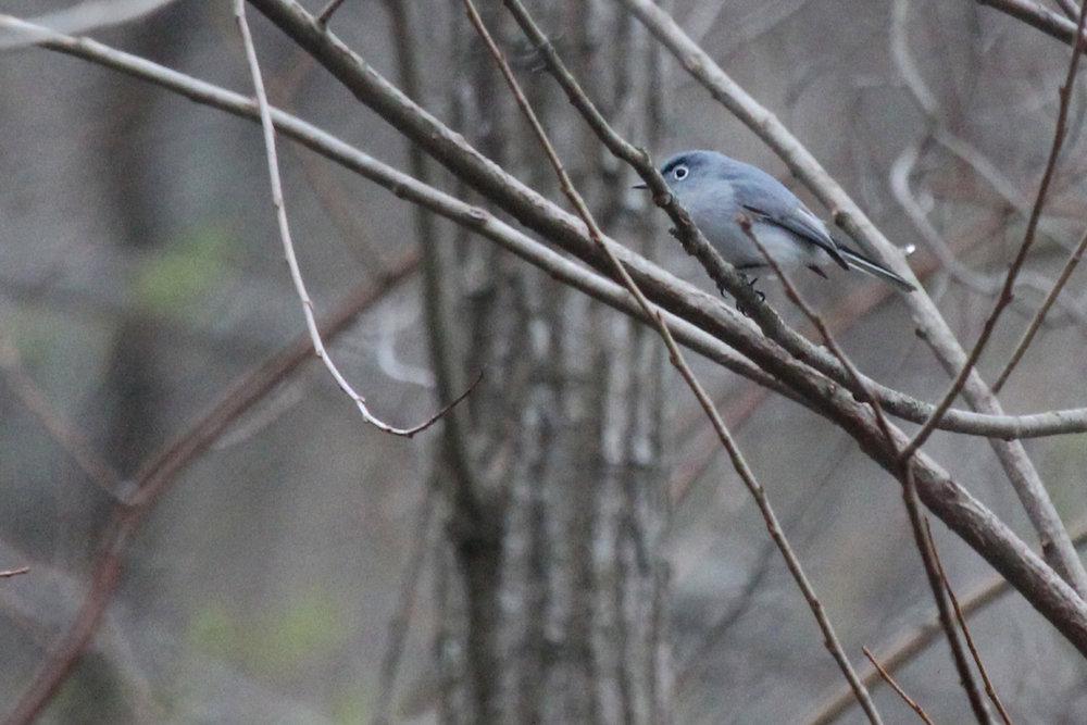 Blue-gray Gnatcatcher / 19 Mar / Stumpy Lake NA